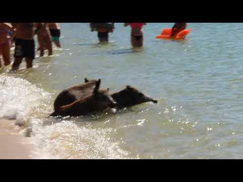 Javalis nos Galapinhos, Arrabida