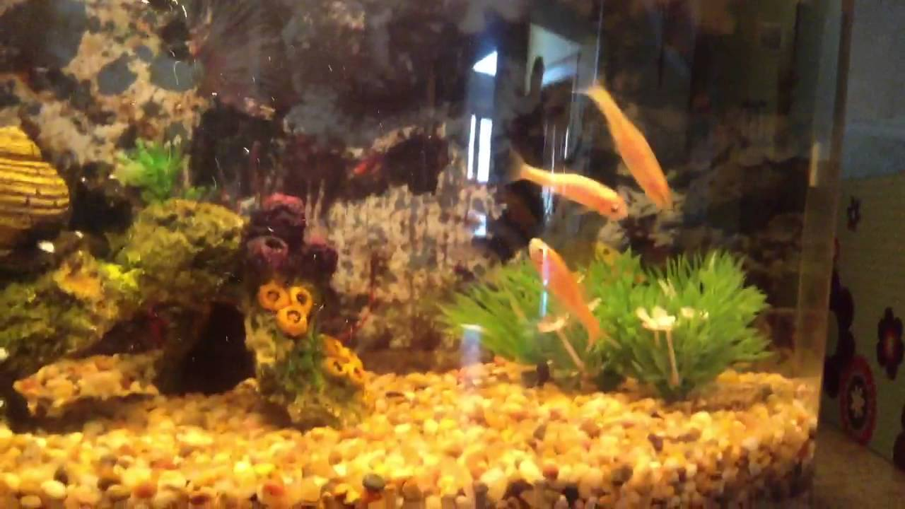 74ea47dd5a84 My lively rosy red minnows