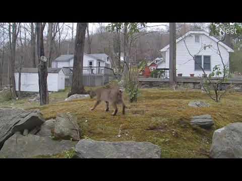 A bobcat was caught on camera slinking through a Mahopac backyard.