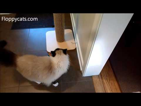 "Ragdoll Cats Watch ""Cat Sees New Family Dog for the First Time Freaks OUT"" - Floppycats"