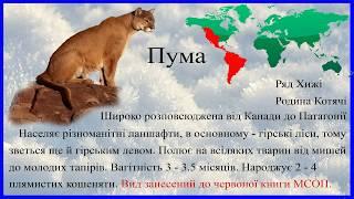 Пума. Николаевский зоопарк