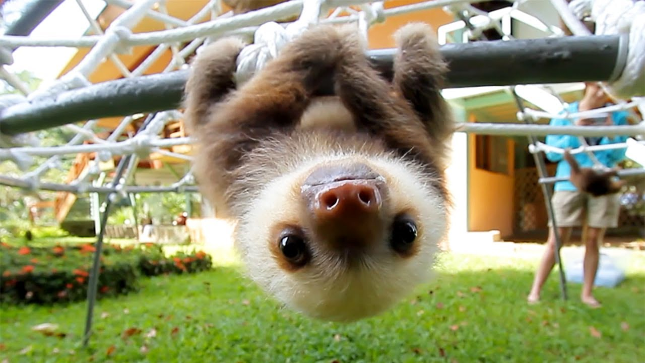 maxresdefault what does a sloth say? youtube