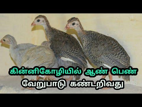 கின்னிகோழி குஞ்சுகளில் ஆண் பெண் வேறுபாடு கண்டறிய | how to find gender Guinea fowl