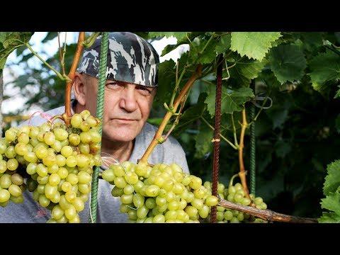 Как посадить виноград в средней полосе