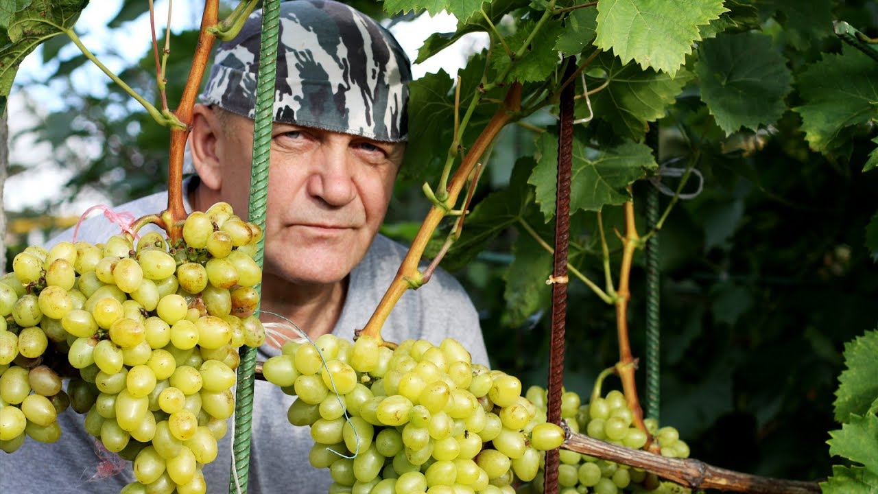 Как выращивать виноград в Средней полосе