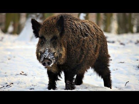Охота на Кабана. Закрытие Сезона Охоты. Wild boar hunting. Closing of the Hunting Season.