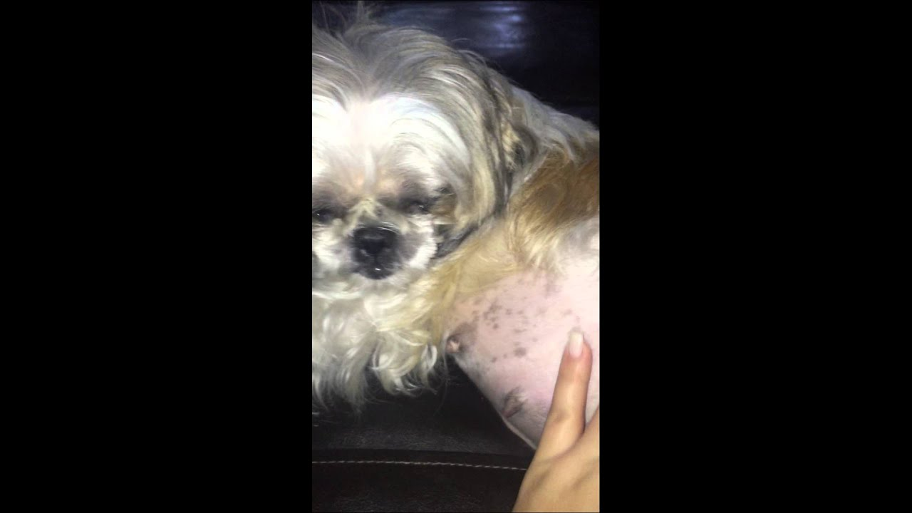 Shih Tzu Pregnancy My Lola 59 Day Pregnant Youtube