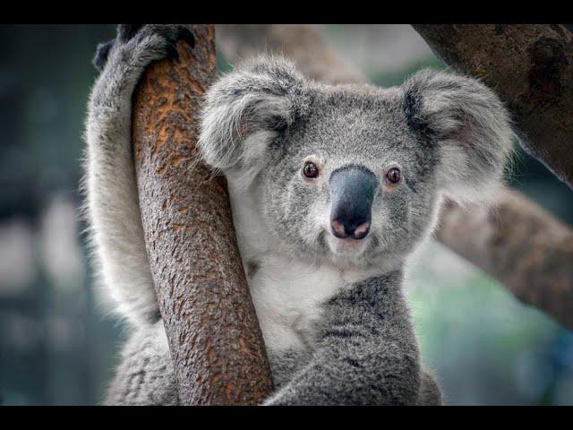 Daily Hill Koala Centre