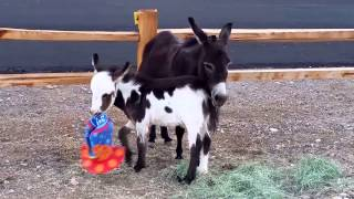 Just Clowning Around!  Cute baby donkey plays with clown hat [cutest animals]