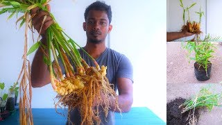 How to Grow& Propagate Ginger at Home|Ginger rhizome|Root to harvest Full Update Video//GREEN PLANTS