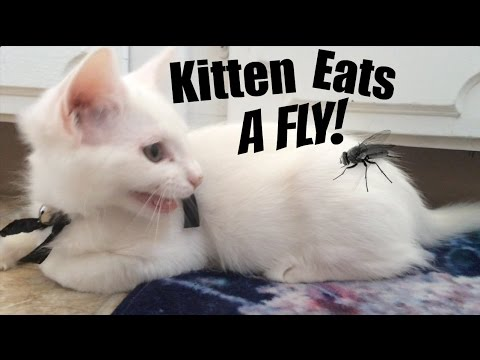 Kitty Hunts and Eats Fly | Funny Cat Videos