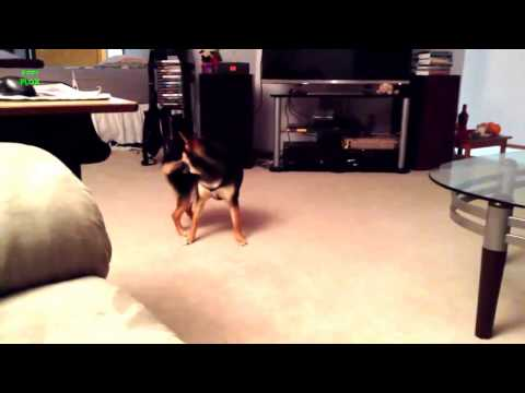 Funny Dogs Chasing Their Tails Compilation 2013 HD