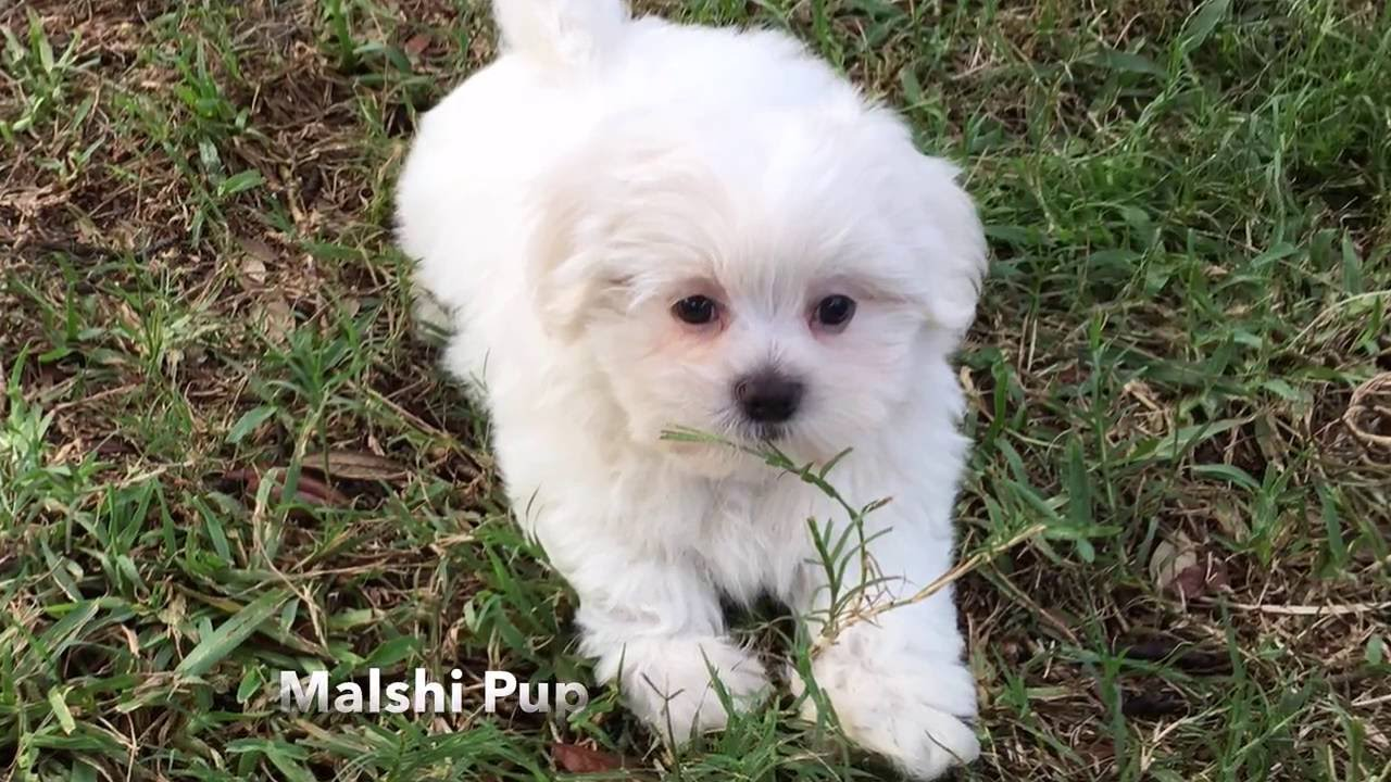 Gorgeous White Malshi Or Maltese Shih Tzu Pup For Sale In Florida