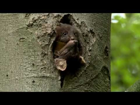 Restoring the Pine Marten to England and Wales
