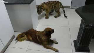 Đảo lộn rồi - tao đang xem clgt này. The little tiger's afraid of the dog