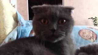 Котенок хайленд фолд девочка