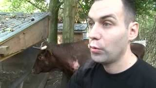 Cornette, la vache qui s'était échappée de l'abattoir, va finir ses jours dans une ferme