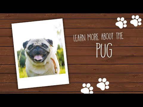 Visit Our Pug Puppies for Sale near Miami Florida!