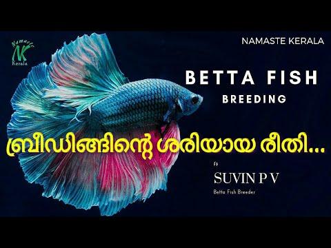 Cara Pembiakan Ikan Laga ( Breed Betta Fish )