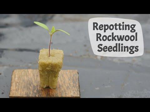 How To Repot Seedlings Grown In Rockwool