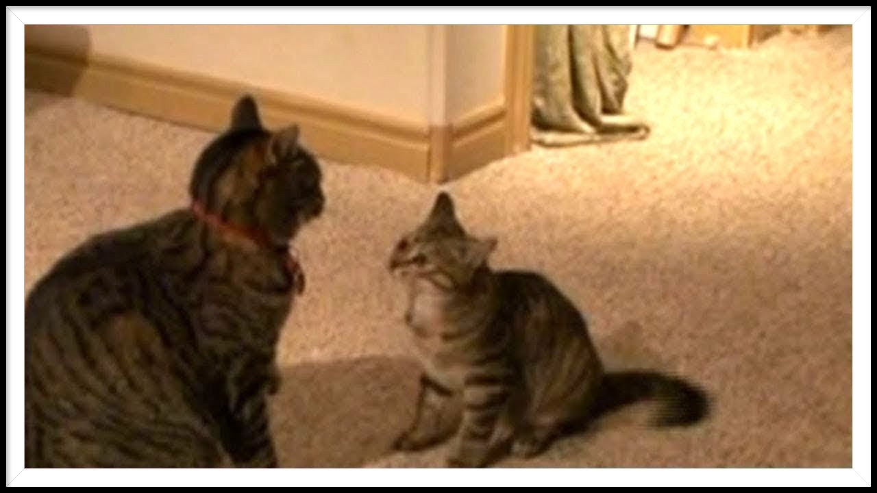 kitten vs cat youtube