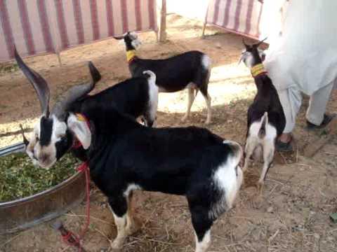 Kamori Goat  videominecraft ru