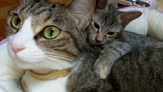 先住猫と仲良くなったムギとモモ thumbnail