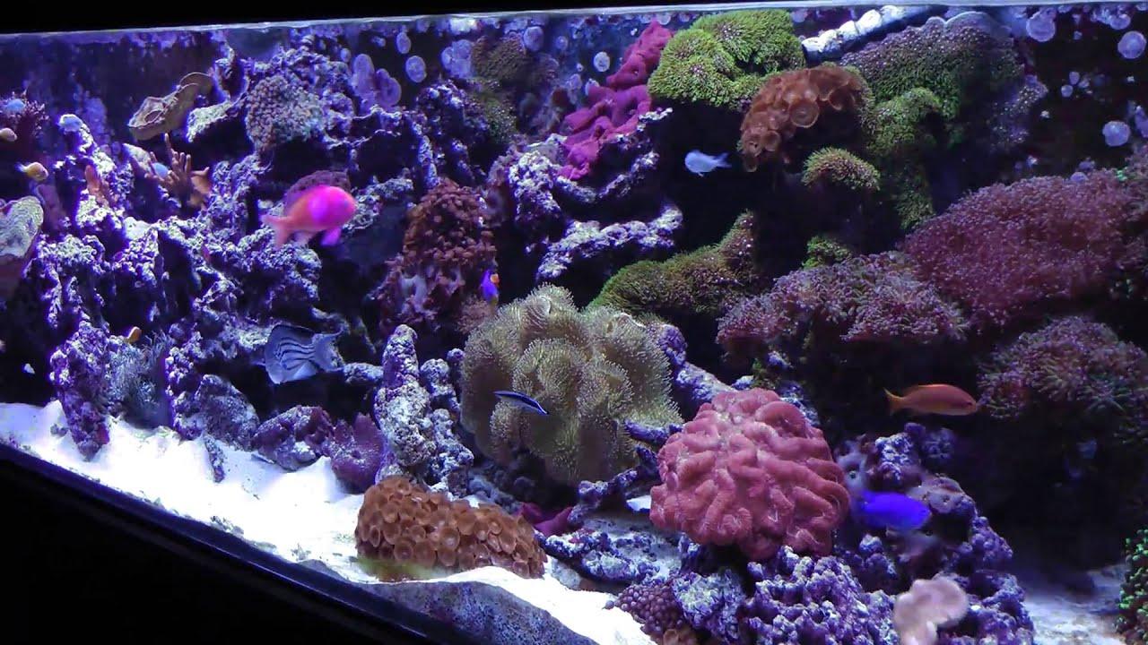 Cartoon Farm 3d Live Wallpaper 400 Gallon Starfire Salt Water Reef Tank Hd Youtube