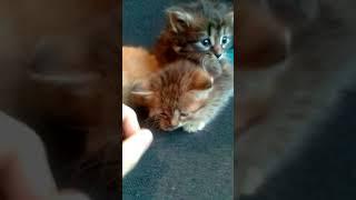 Сибирские котята в уютный дом!