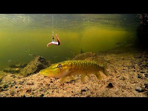 Playing Fishing Game Wt Baby Pike & Baby Perch. Игра в рыбалку со щурятами и окушками