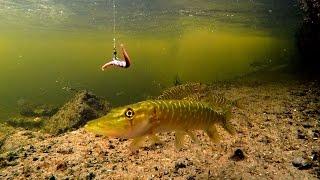 Playing fishing wt baby pike & baby perch. Игра в рыбалку со щурятами и окушками