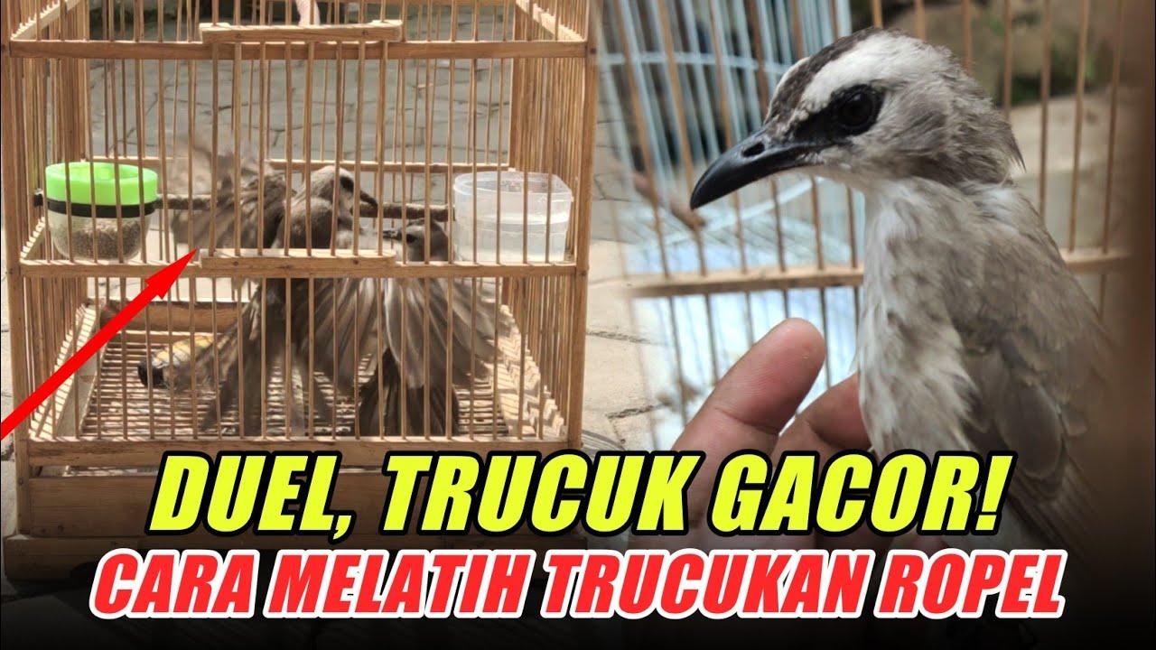 Download DUEL!! Trucukan Gacor   Melatih Burung Trucukan