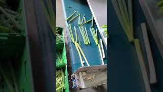 손질대파 자동절단기 250mm 절단영상 - greent…