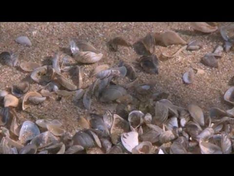"""Silent Invaders"" Zebra Mussels 2013"