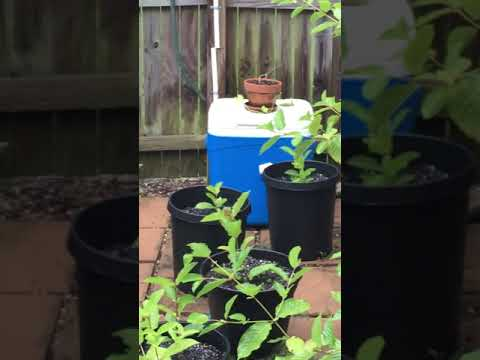 How To Grow Kratom Plants. Kratom Nursery Kratom Farm
