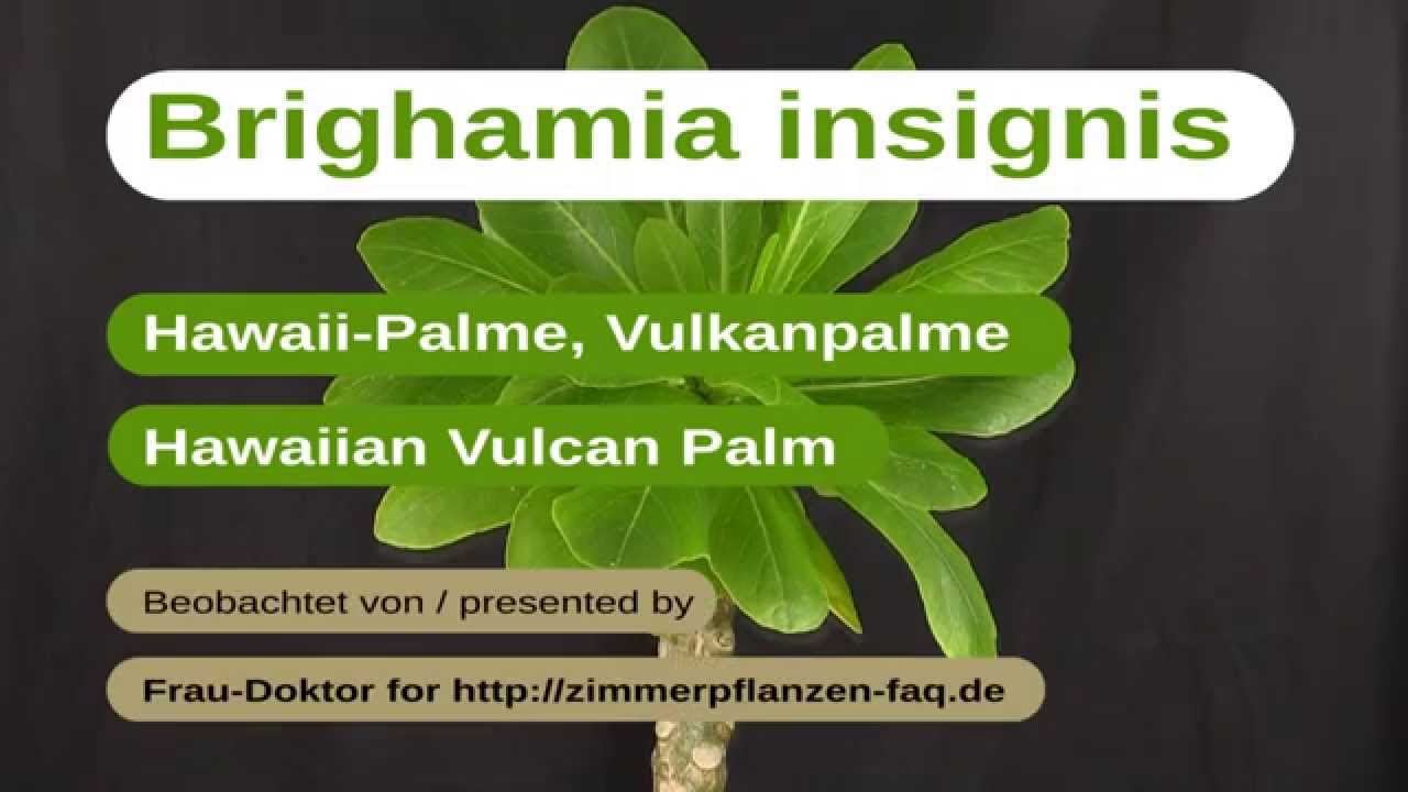 brighamia insignis hawaii palme hawaiin vulvan palm youtube. Black Bedroom Furniture Sets. Home Design Ideas