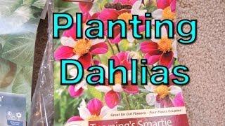 Planting Dahlia Tubers