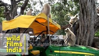 Langurs try to drive John Deere tractor in India