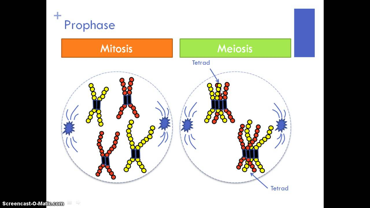meiosis and mitosis lab Labbench lab 3: mitosis & meiosis complete: key concepts, design of the experiments, analysis of results, and lab quiz by reading the information presented, watching the animations, and answering all questions in your comp book (mitosis 1-6, meiosis 1-20.