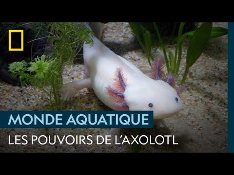 L'incroyable pouvoir de guérison de l'axolotl
