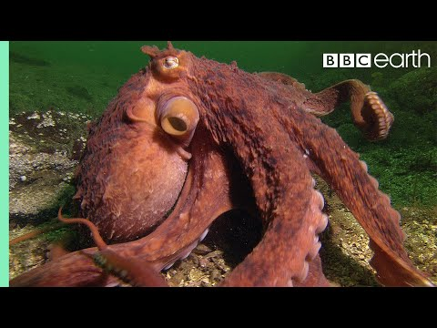 Thumbnail: Octopus Steals Crab From Fisherman - Super Smart Animals - BBC Earth