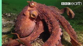 Octopus Steals Crab From Fisherman - Super Smart Animals - BBC Earth by : BBC Earth