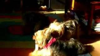 Yorkshire Terrier Family At Play