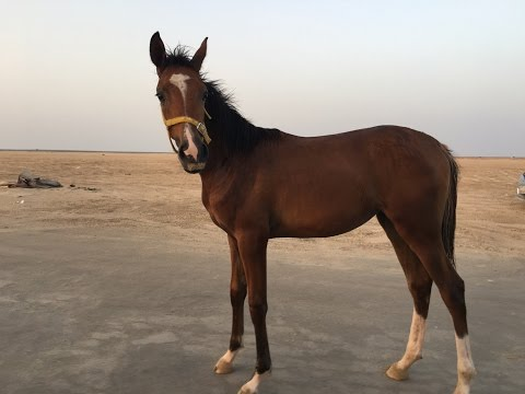 horse on the Obhur beach Jeddah 2017