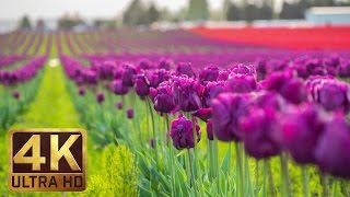 4K - Tulip Flowers - 2 Hours Relaxation Video | Skagit Valley Tulip Festival in WA State - Episode 1
