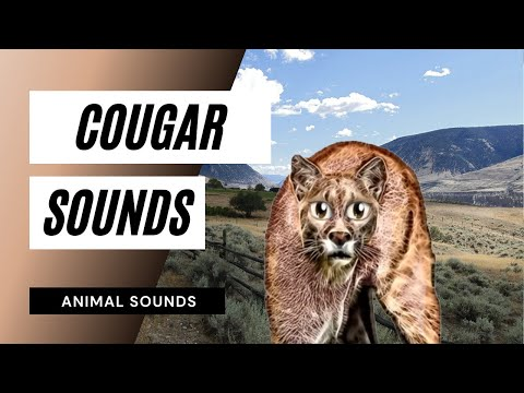When A Cougar Roars - Sound Effect - Animation