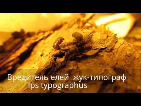 Вредитель Жук короед-типограф вредитель елей в Украине, by Entomologist in Ukraine.