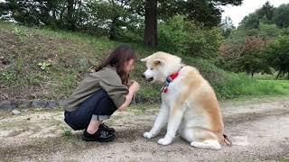 秋田犬パティ2019年のカレンダー発売中です❣  株式会社HOKUSHIN さんよ...