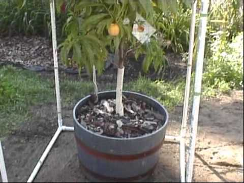 Red Haven Peach tree with PVC built fruit cage - YouTube