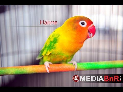 Lovebird HALIME - Lampung